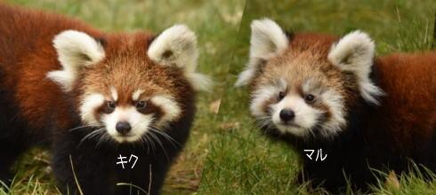 安佐動物公園に「キクマル」コンビ誕生、レッサーパンダの赤ちゃんに命名