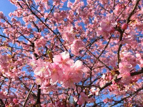 広島・上蒲刈島で、早咲きの河津桜が見頃に