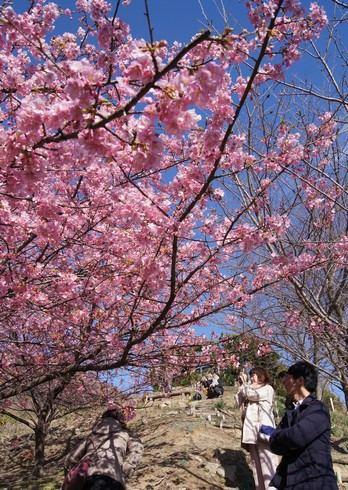 上蒲刈島、県民の浜の河津桜