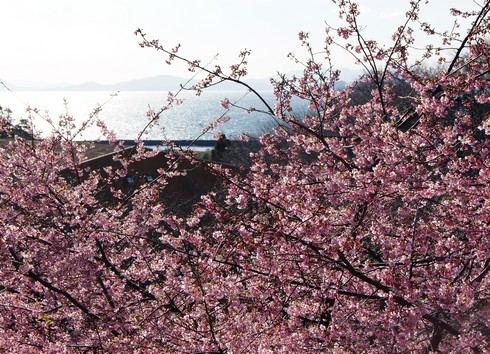 上蒲刈島、県民の浜の河津桜の様子