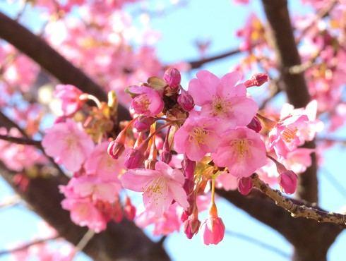 上蒲刈島、県民の浜の河津桜の蕾