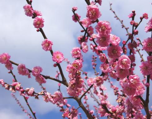 満汐梅林の梅