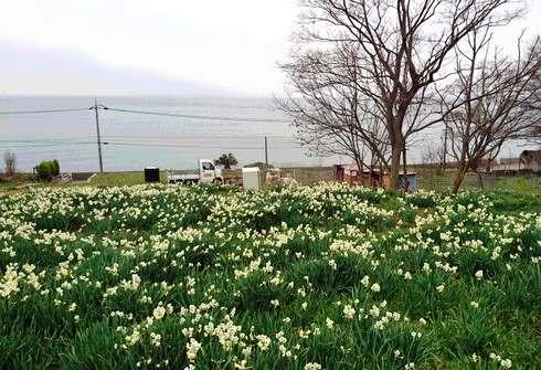 やぶ椿と水仙の里、福山市内海町で花とヤギに触れ合う