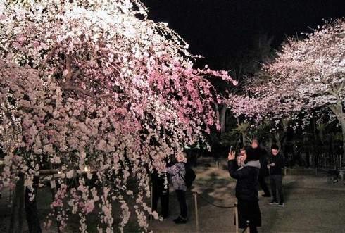 大人のデートに最適、縮景園の夜桜