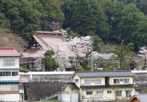 鳳源寺の桜の様子