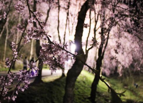 世羅 甲山ふれあいの里 しだれ桜 画像2
