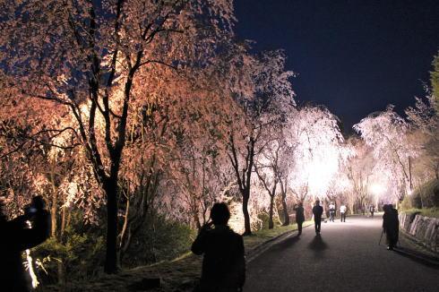 世羅 甲山ふれあいの里 しだれ桜並木の様子1