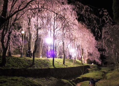 世羅 甲山ふれあいの里 しだれ桜並木の様子4