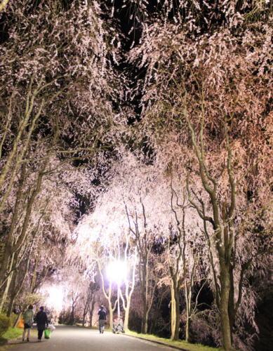 世羅 甲山ふれあいの里 しだれ桜並木の様子3