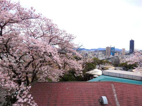 マホガニー店舗と桜