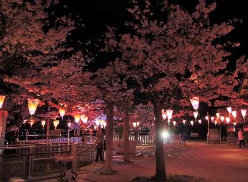 廿日市市・大田神社の夜桜、ボンボリの灯りで