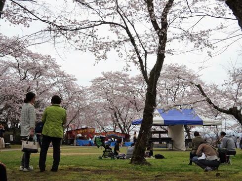 尾関山公園 芝生広場の桜