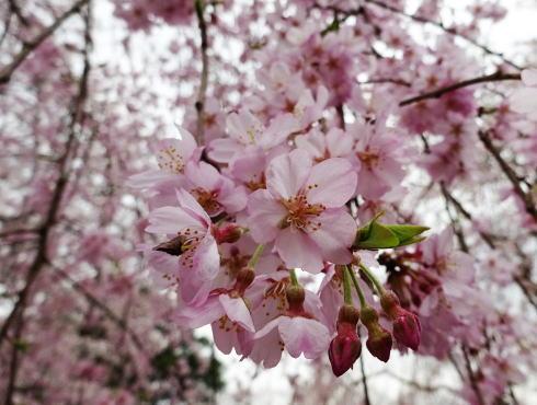 尾関山公園 芝生広場の枝垂桜