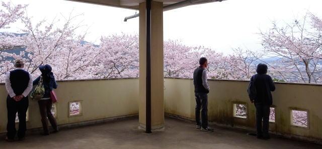 尾関山公園 展望台の2階からの桜