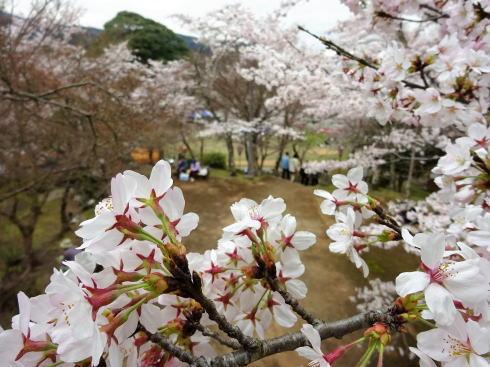 尾関山公園 展望台からの桜の眺め2