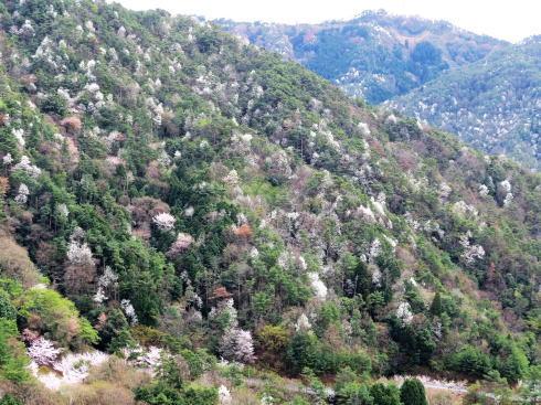 広島市森林公園 から見るタムシバの風景