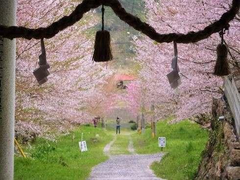蘇羅比古神社 桜並木の写真