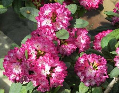 花みどり公園の温室に珍しいシャクナゲも