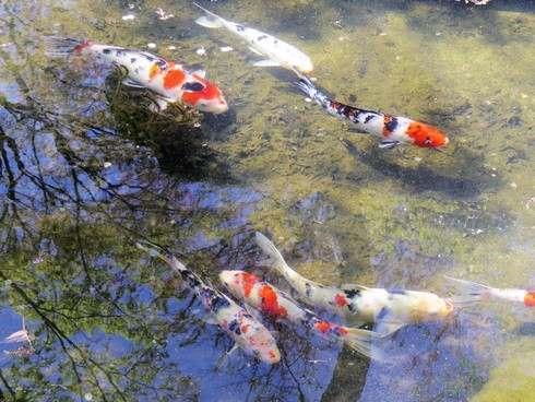 花みどり公園の池には鯉も