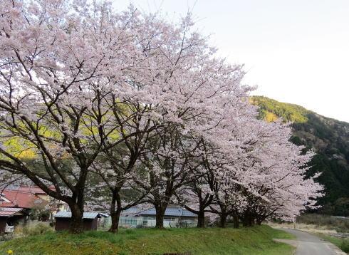安芸太田 附地の桜並木、太田川源流のほとりでお花見を