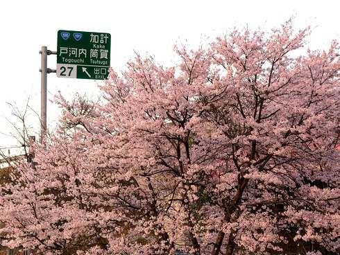 上殿さくら公園、戸河内IC横に春満開の癒しスポット