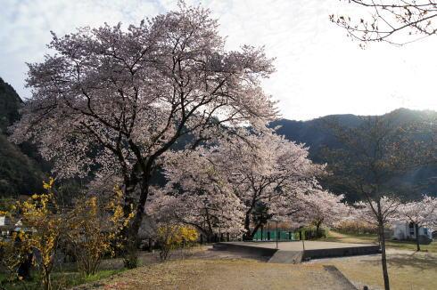 安野花の駅公園 桜の風景2