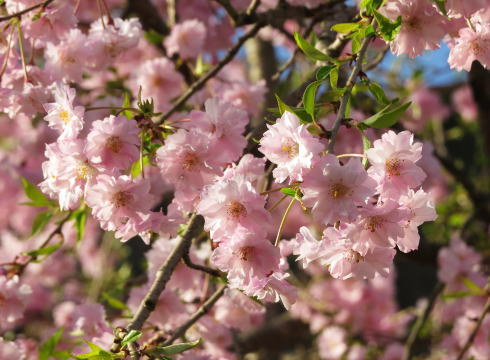 安野花の駅公園 桜の風景3