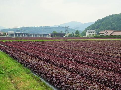 「ゆかり」の赤しそ畑、北広島町で鮮やかに