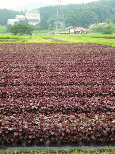 北広島町 ゆかりの 赤しそ畑 画像2