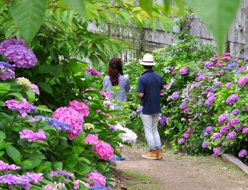「あじさい寺」広島の観音寺でアジサイが見頃、風鈴の音も涼やかに