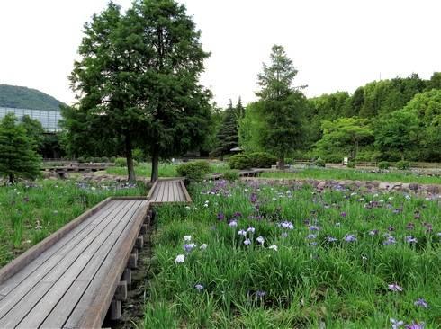春日池公園のしょうぶ園