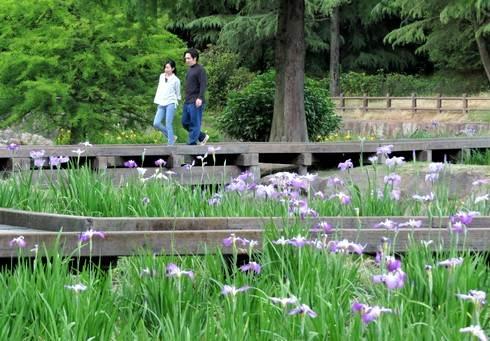 春日池公園で、菖蒲を楽しむ人々