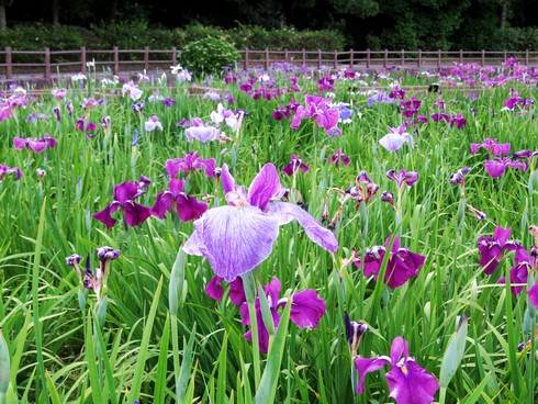 春日池公園で菖蒲が見頃に