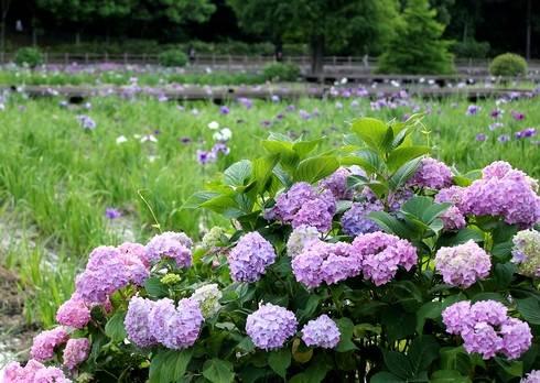 春日池公園のアジサイ