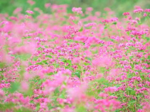 北広島町 赤そば 花畑