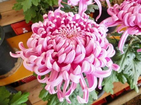 菊花展2016、広島各地で秋の花の祭典 スケジュールまとめ