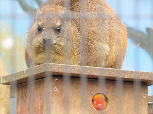 福山市立動物園 ケープハイラックス