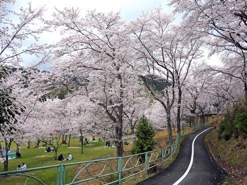 土師ダム レンタサイクルで桜のトンネルを走る2
