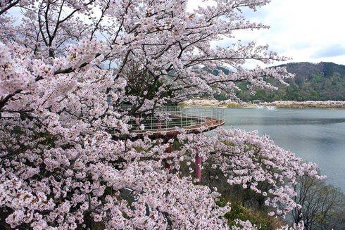 土師ダム 満開の桜に包まれるサイクリングターミナル周辺