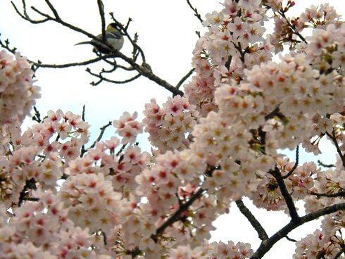 土師ダムの桜にウグイスの姿