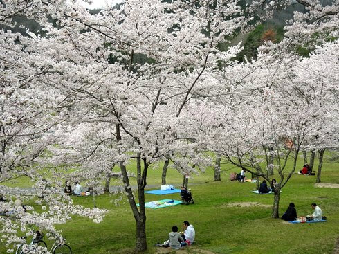 土師ダム お弁当を持って満開の桜でお花見を堪能