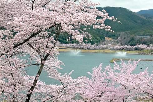 土師ダム のどごえ公園、満開の桜が圧巻!約6000本が咲き誇る