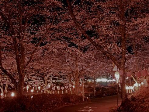 土師ダム 夜桜(提灯ライトアップ)の様子4