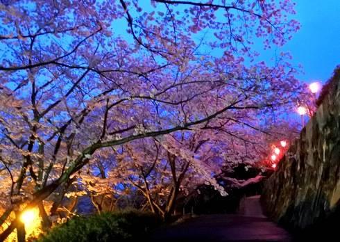 亀居公園の夜桜1