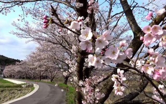 三次市 美波羅川千本桜の写真9