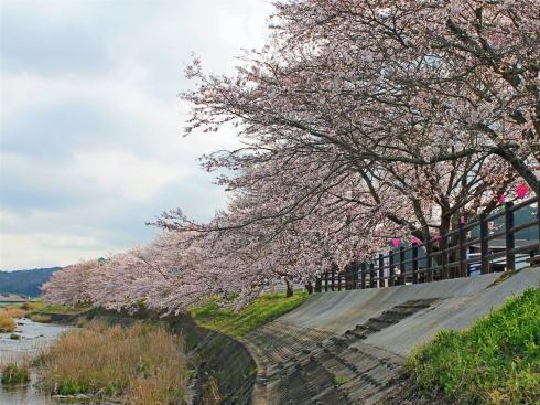 美波羅川千本桜、三次市の田園風景広がる川沿いに春のピンクの帯