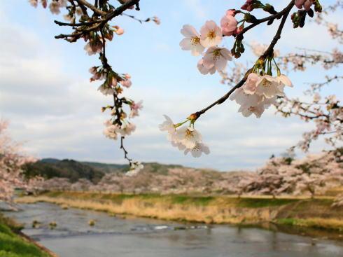三次市 美波羅川千本桜の写真4