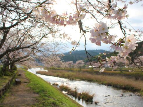 三次市 美波羅川千本桜の写真8