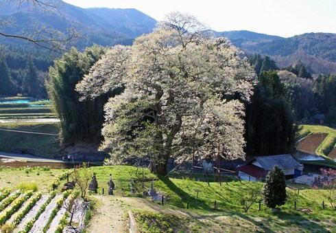 小奴可の要害桜、庄原市に県内有数の巨大エドヒガン