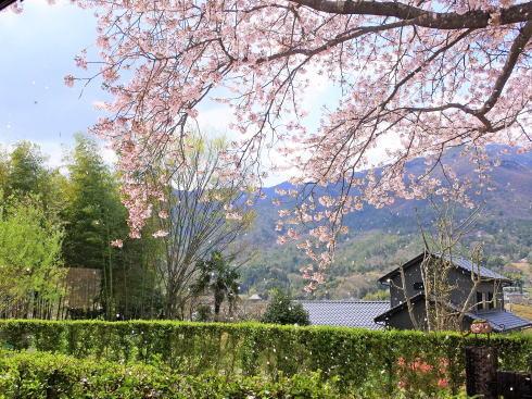 広島市安佐北区 白木 サコダノサクラ 桜